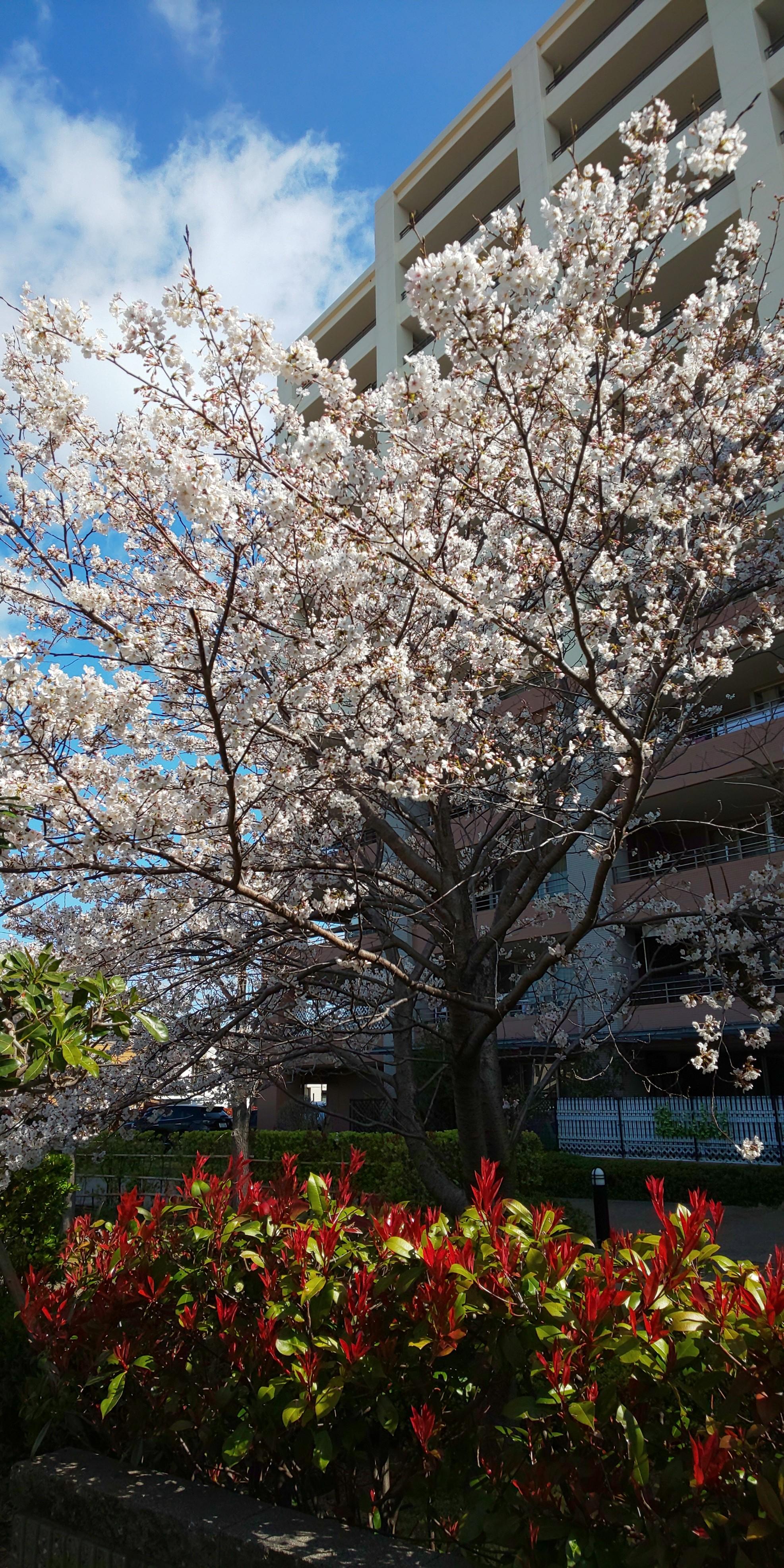 春が来ました(^^)/